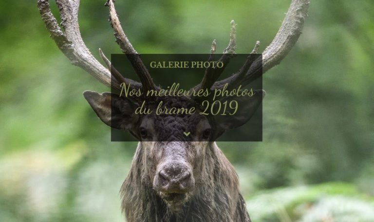 Galerie photo - Nos meilleures photos du brame 2019 (Association Objectif Mormal - Forêt de Mormal)